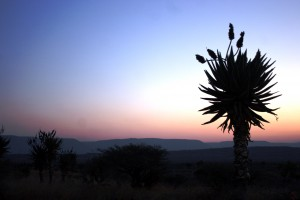 Aloe in Tugela Ferry
